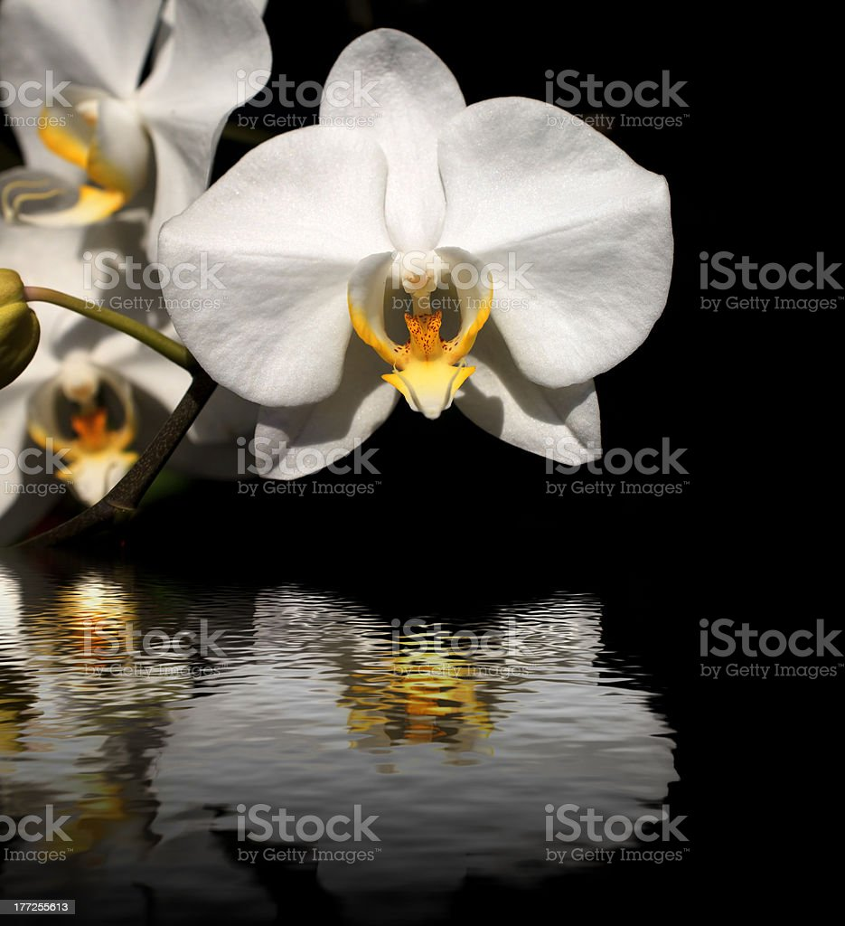 White orchid on a black background royalty-free stock photo