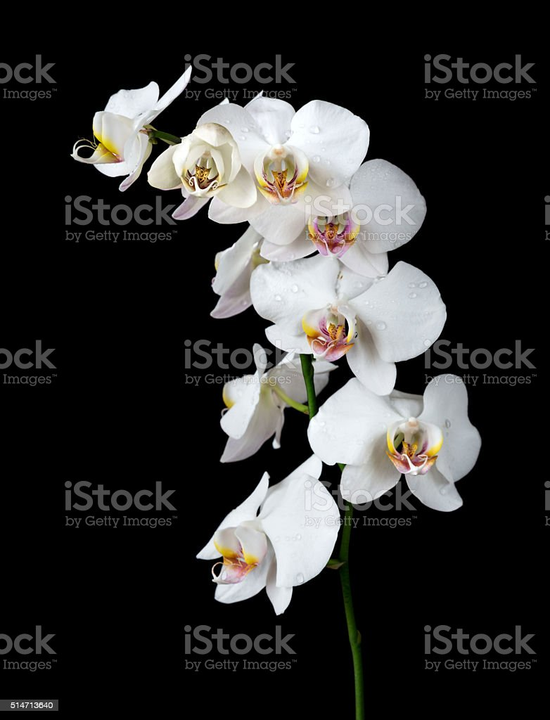 White Orchid on a black background stock photo