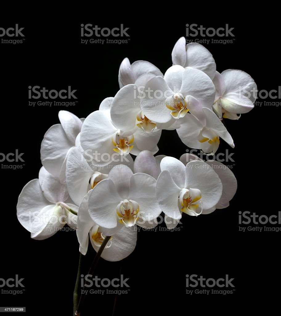 White orchid on black royalty-free stock photo