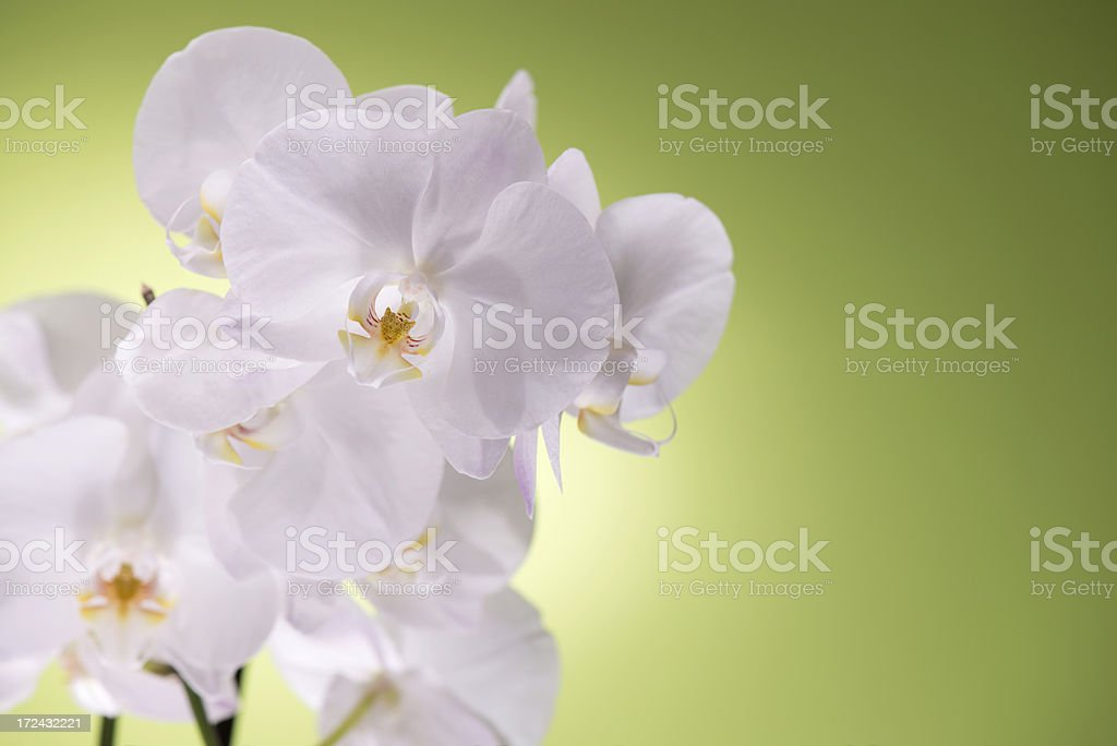 White Orchid on green background royalty-free stock photo