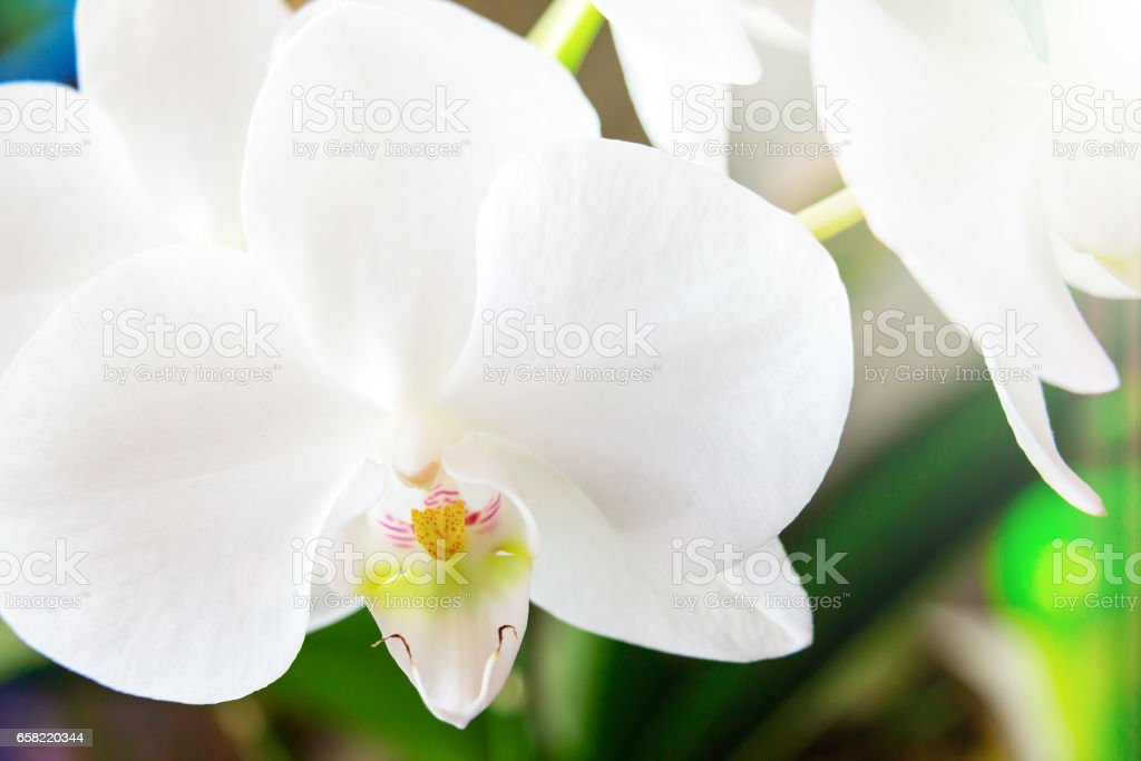 White orchid phalaenopsis stock photo