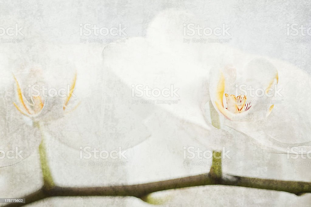White orchid. royalty-free stock photo