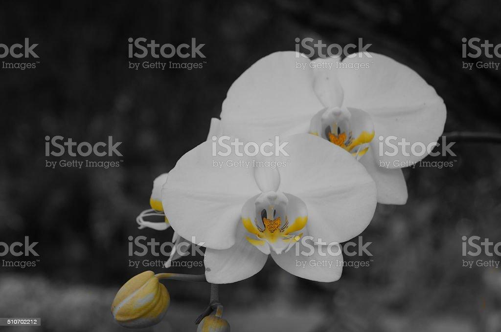 Orquídea blanca foto de stock libre de derechos