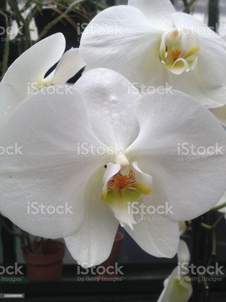 Orquídea branca foto royalty-free