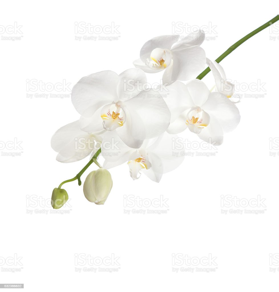 White orchid. stock photo