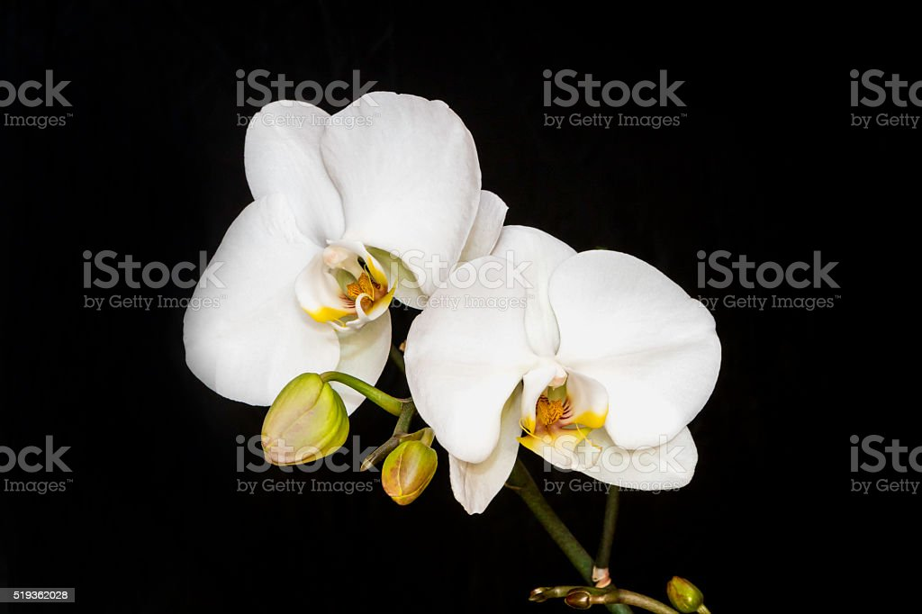 White Orchid Plant stock photo