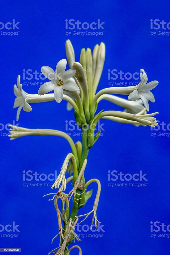 White Orchid Tropical Tuberosa stock photo