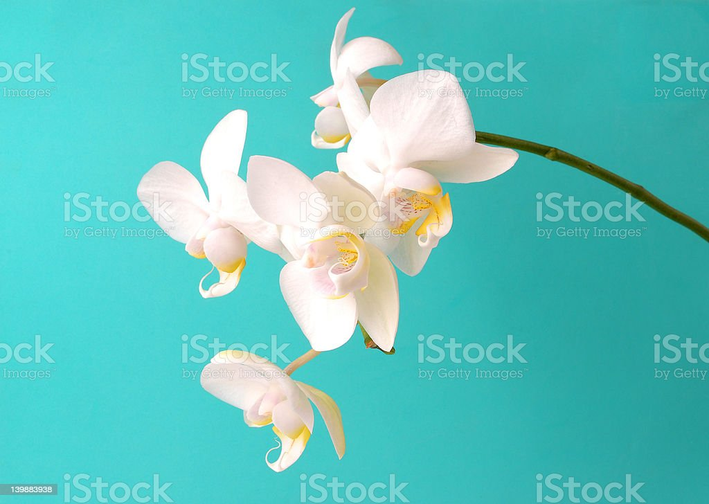 white orchidcomposition royalty-free stock photo