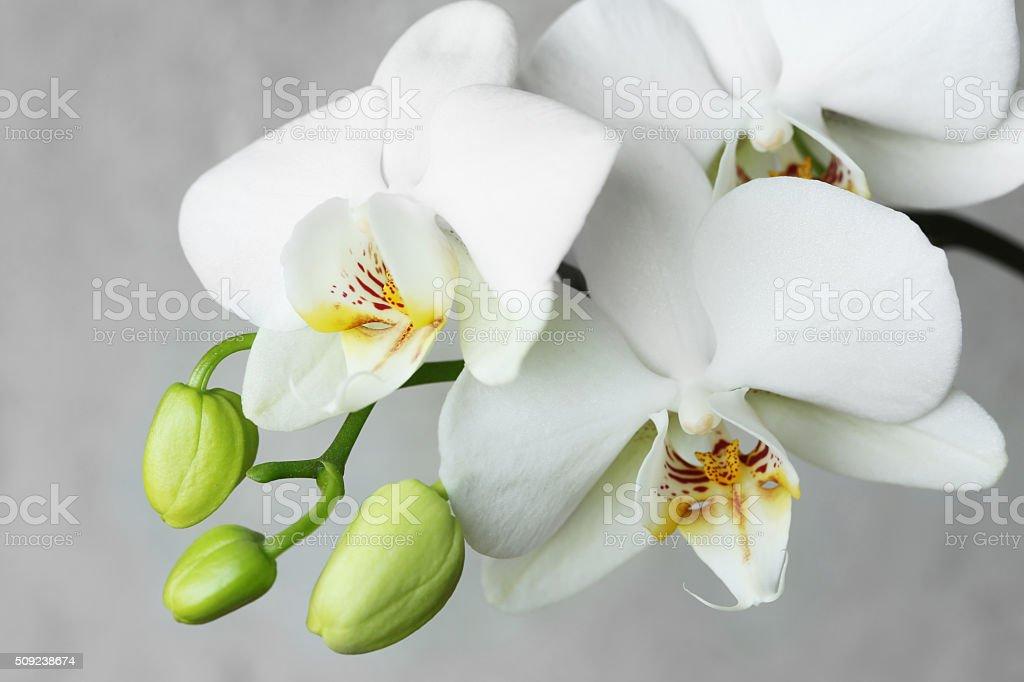 white orchidea. stock photo
