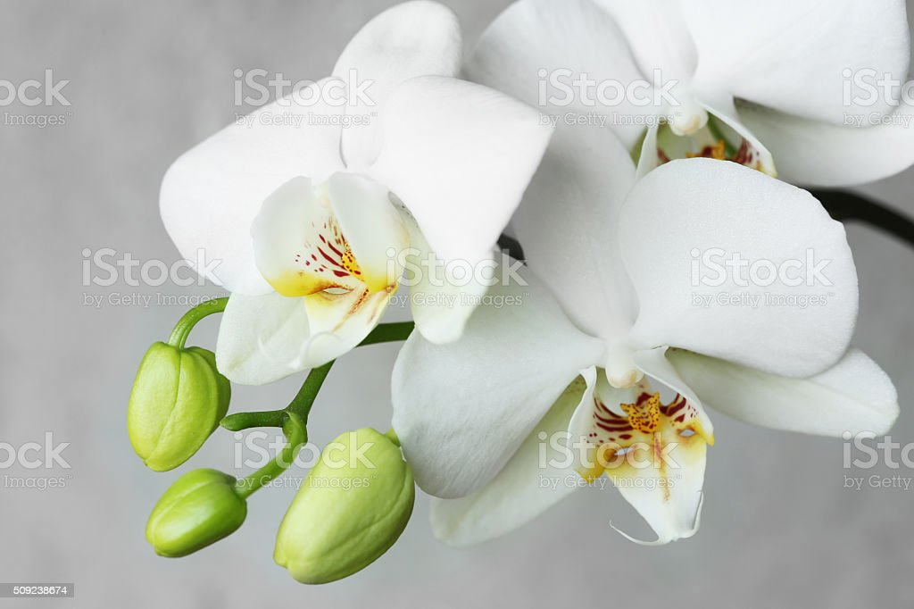 white orchidea. stock photo