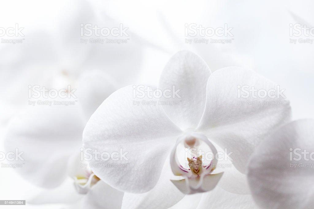 White Orchidea stock photo