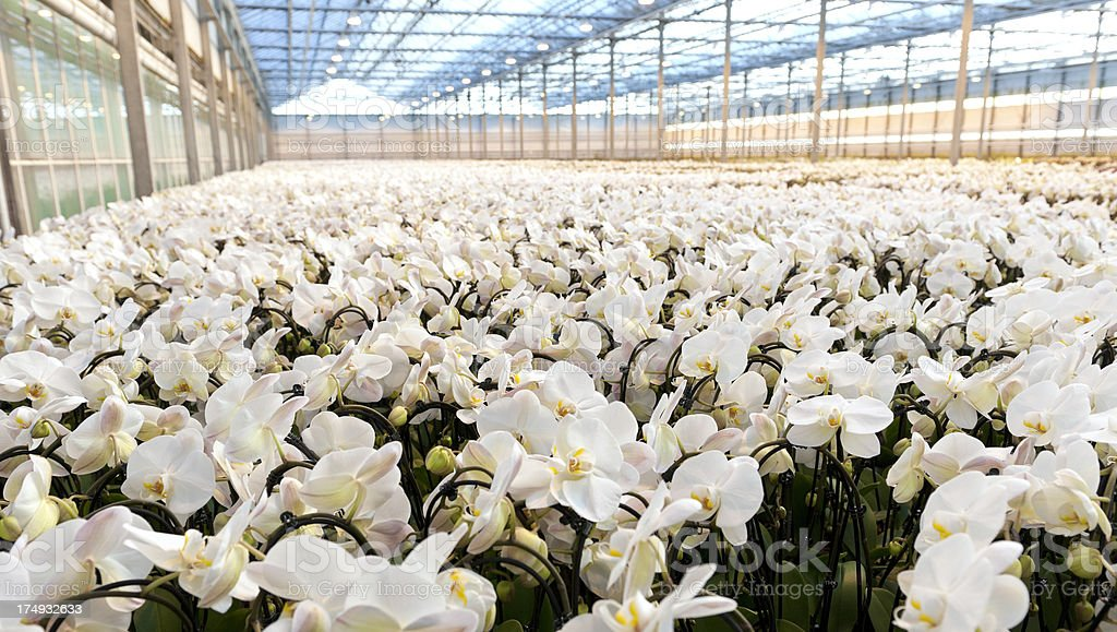 white orchids in greenhouse royalty-free stock photo