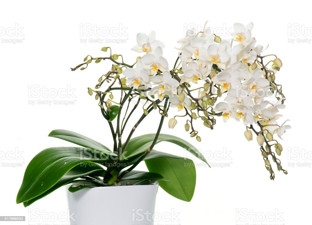 white orchids in pot stock photo