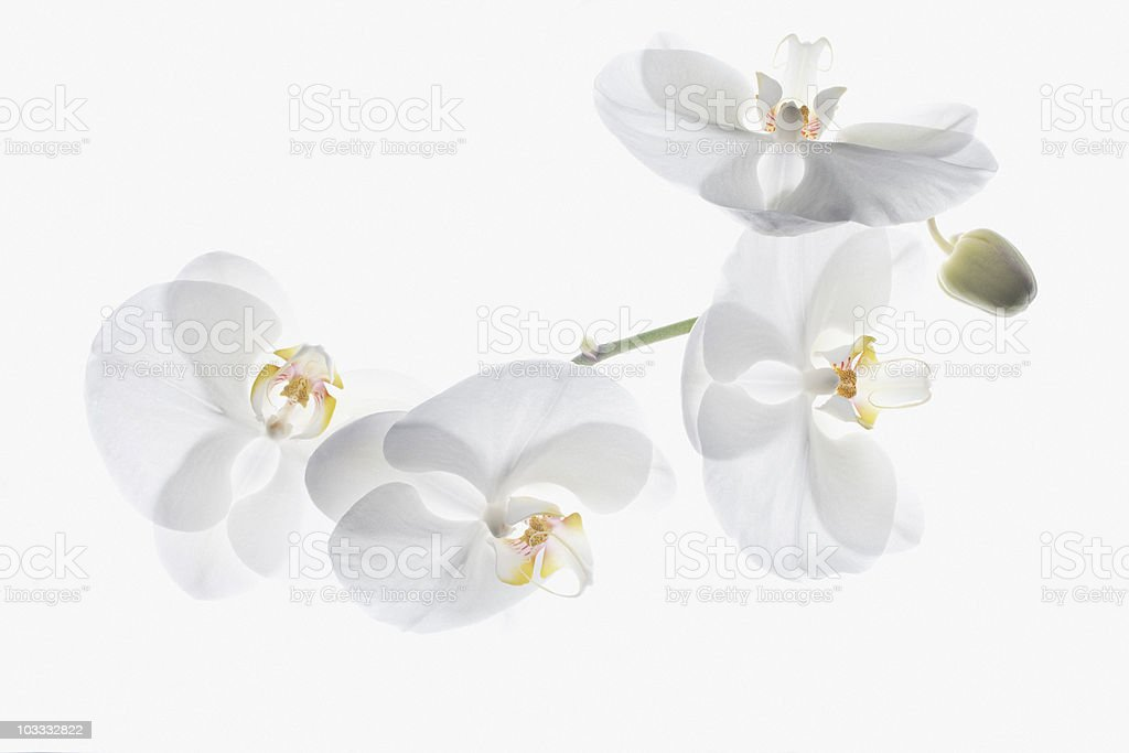 White orchids on stem royalty-free stock photo
