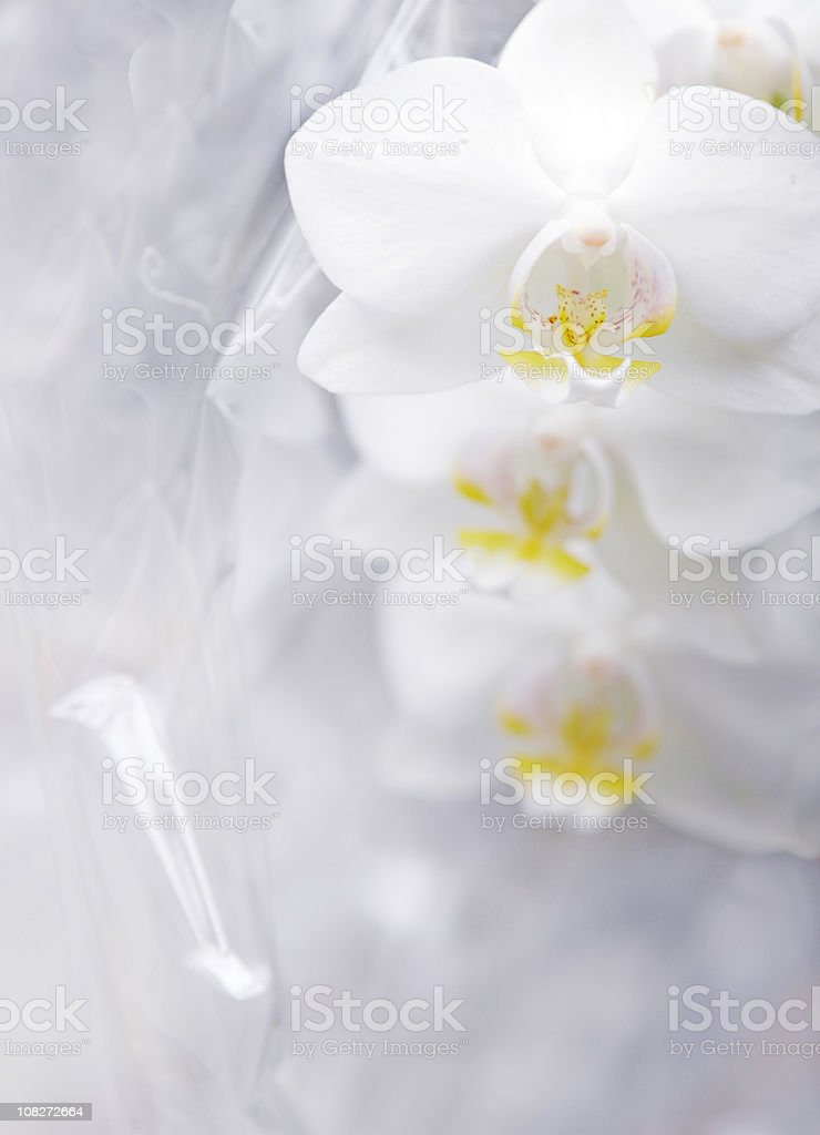 White Orchids royalty-free stock photo