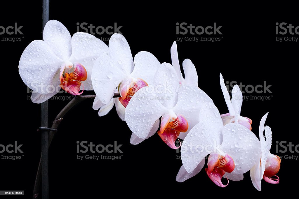 White orchids steam royalty-free stock photo
