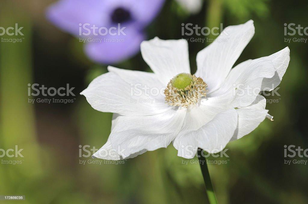 White Oriental Poppy royalty-free stock photo