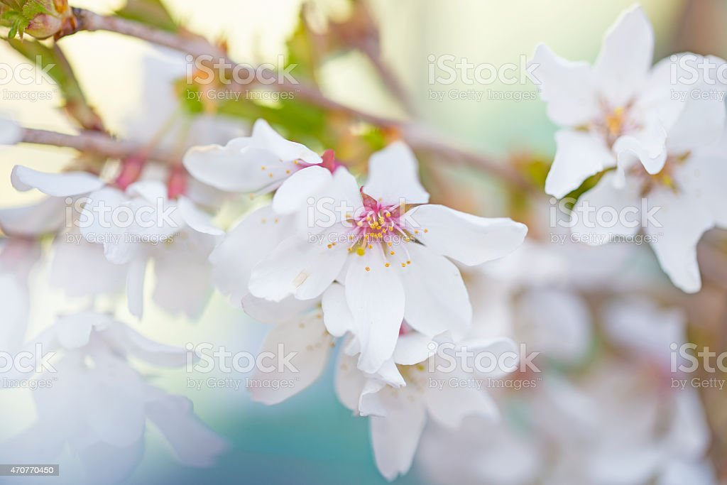 White ornamental Iford Weeping Cherry Tree Blossom royalty-free stock photo