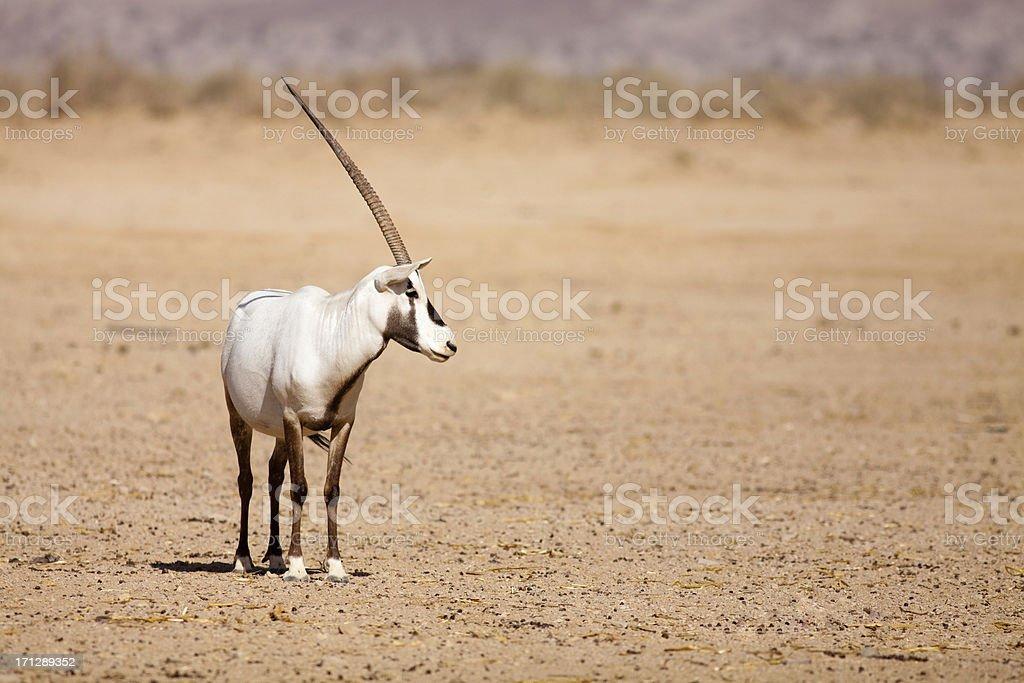 White Oryx antelope stock photo
