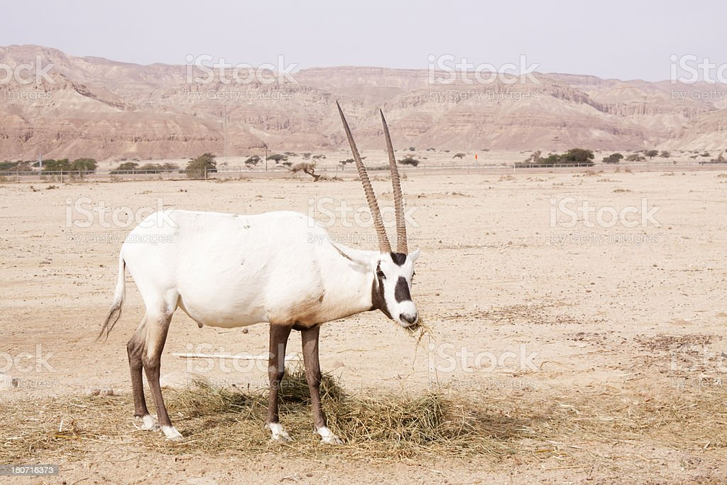 White Oryx eating in a conservation reserve stock photo