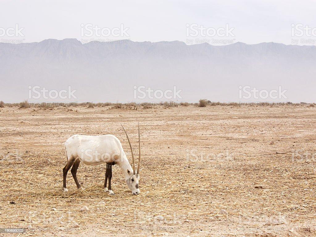 White Oryx eating in the desert stock photo