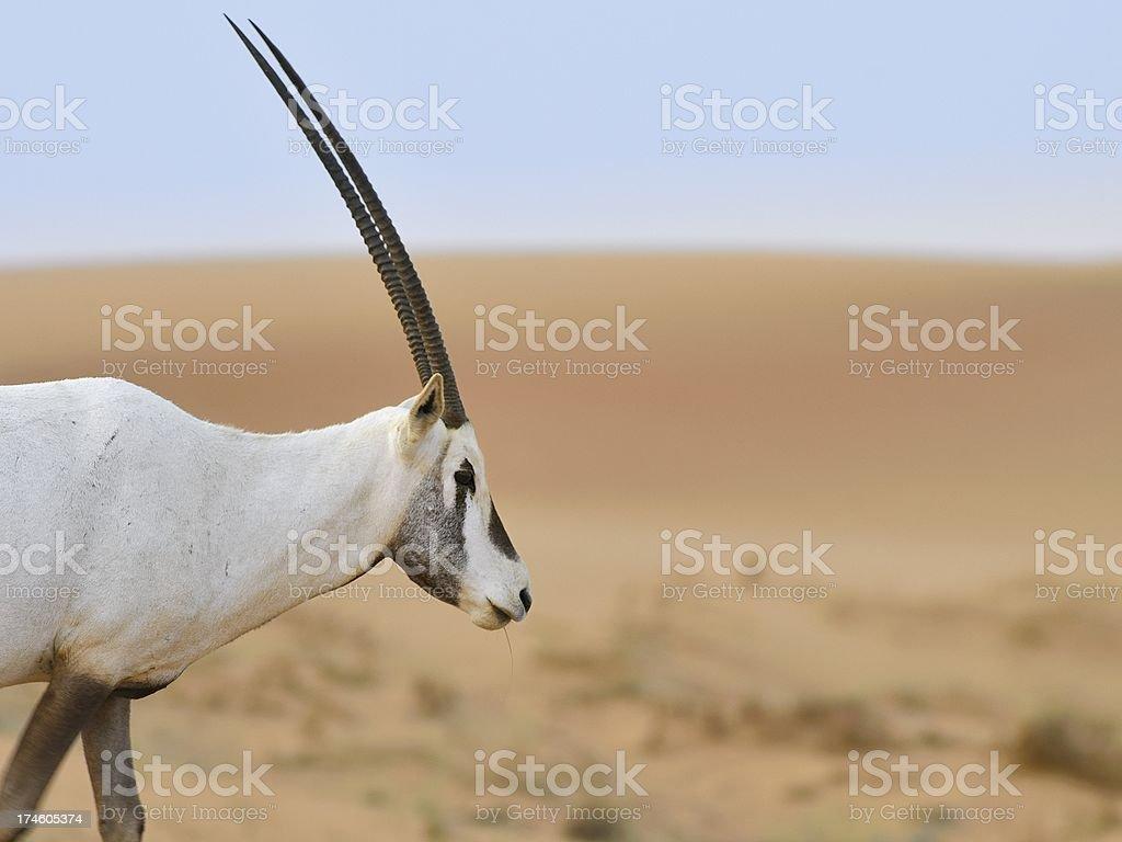 White Oryx In Dubai stock photo