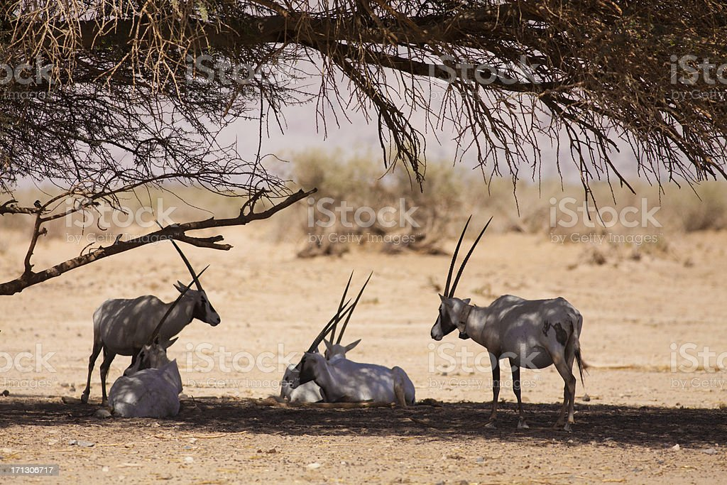 White Oryx stock photo