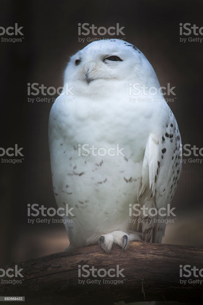 White Owl stock photo