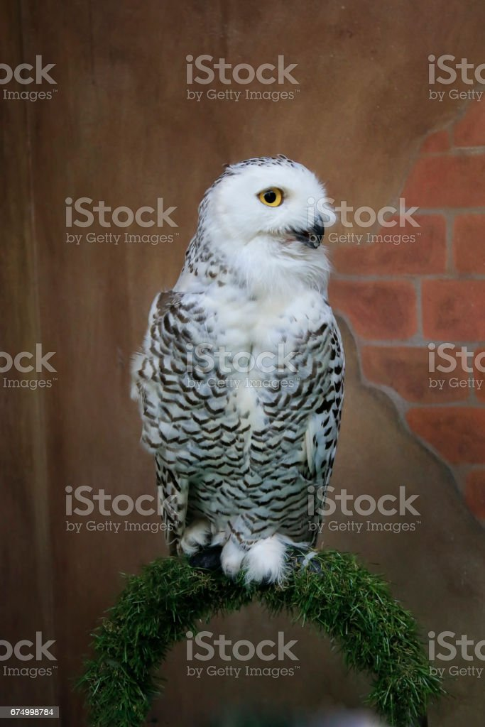 White owl, with an old brick wall background stock photo