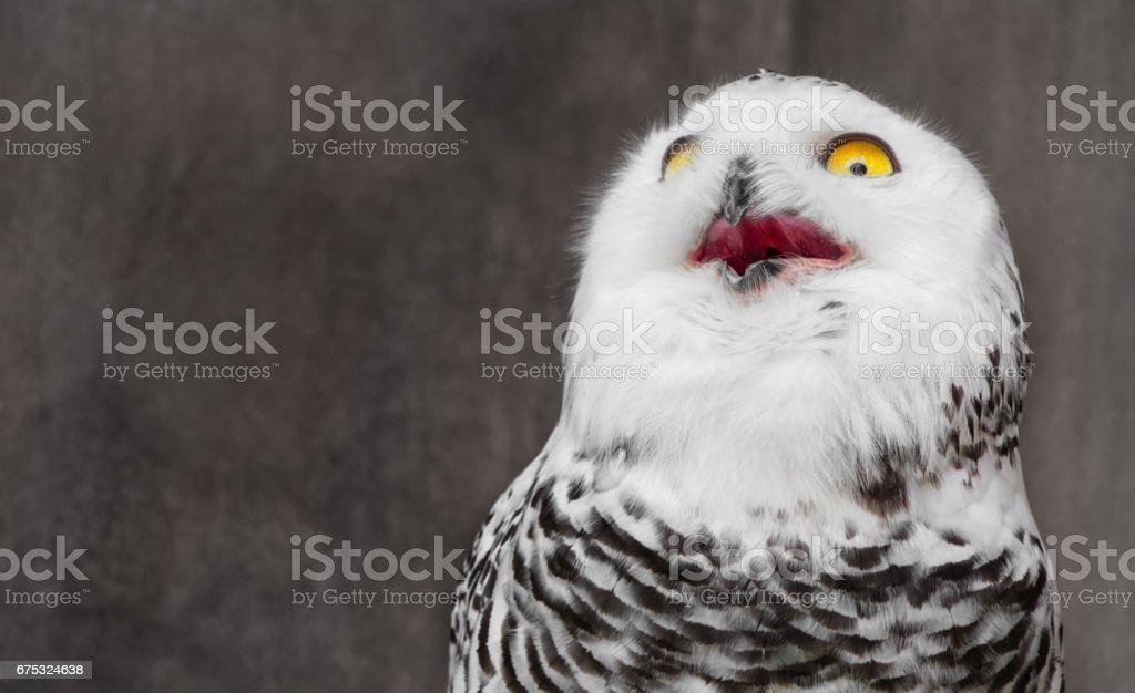 White Owl with shocking meme face stock photo