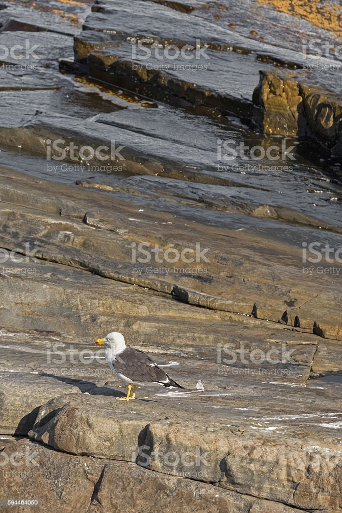 White Pacific Gull with red-tipped yellow bill standing on rock stock photo