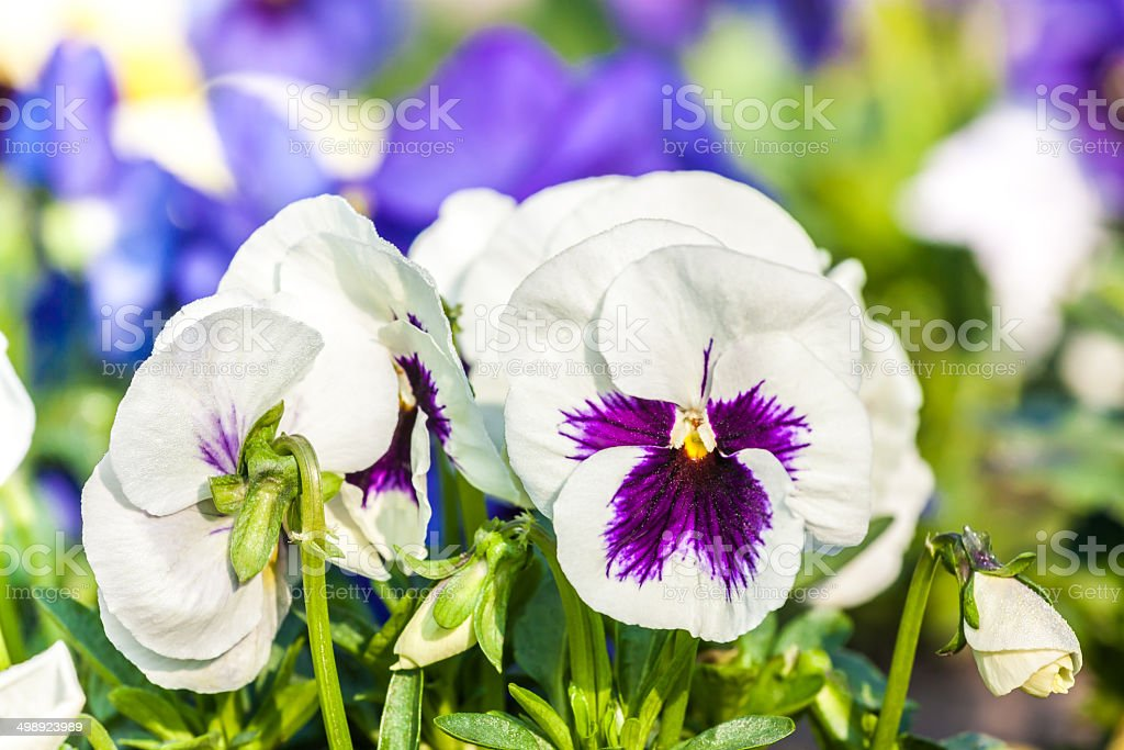 white pansies stock photo