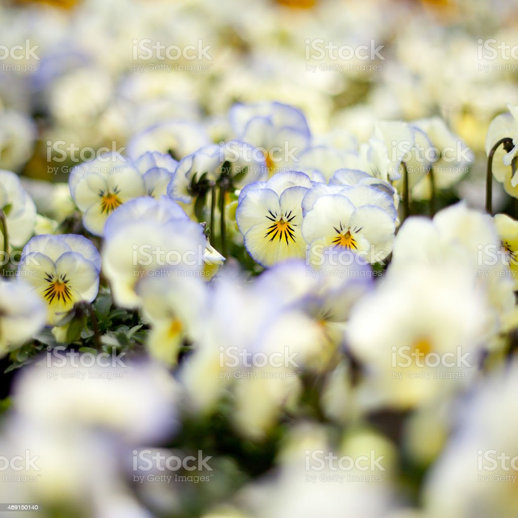 white Pansy flowers stock photo