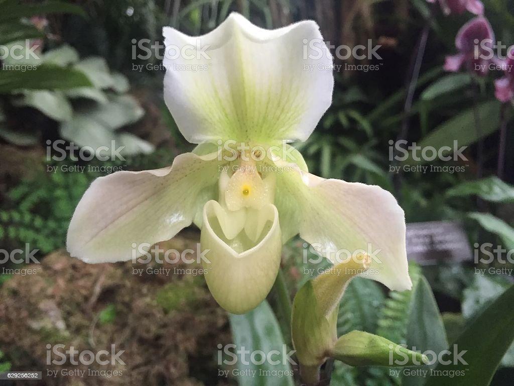 white Paphiopedilum (orchid) stock photo