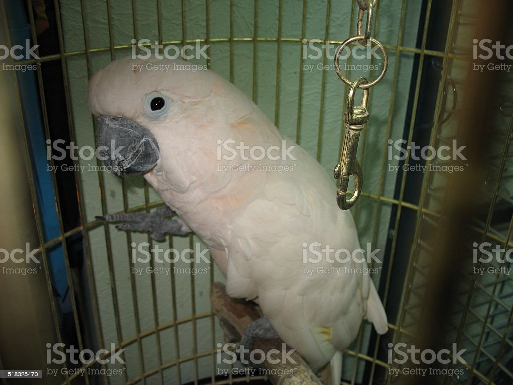 White parrot in a cage stock photo