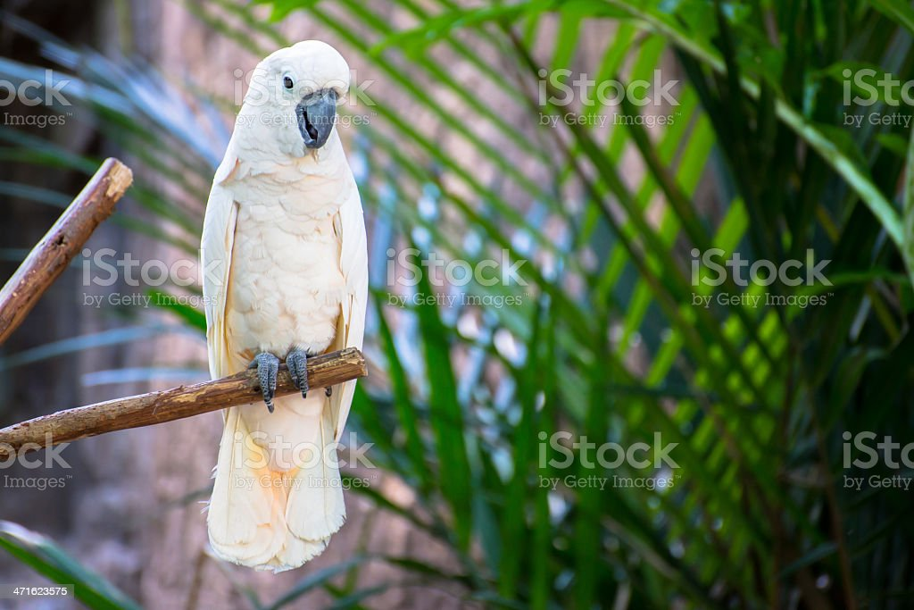 White parrot royalty-free stock photo