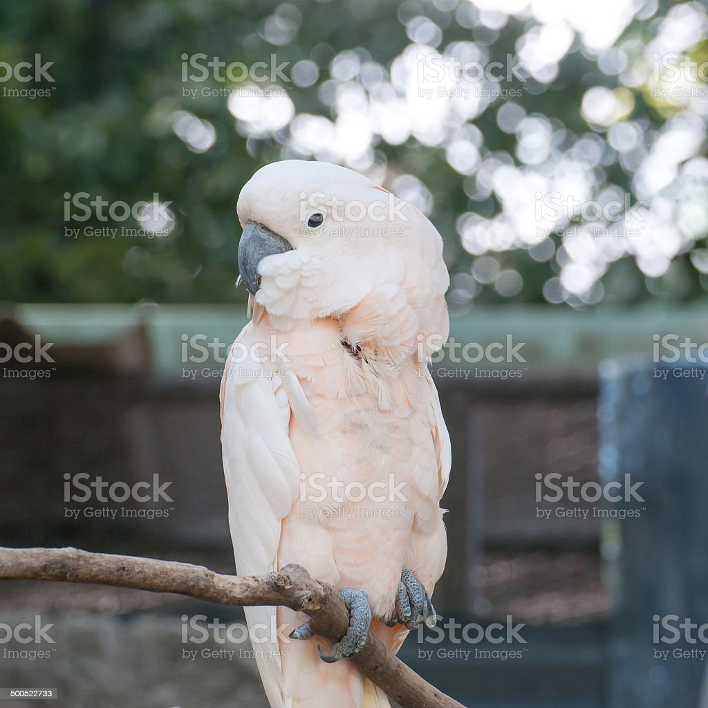 White parrot sitting on a branch stock photo