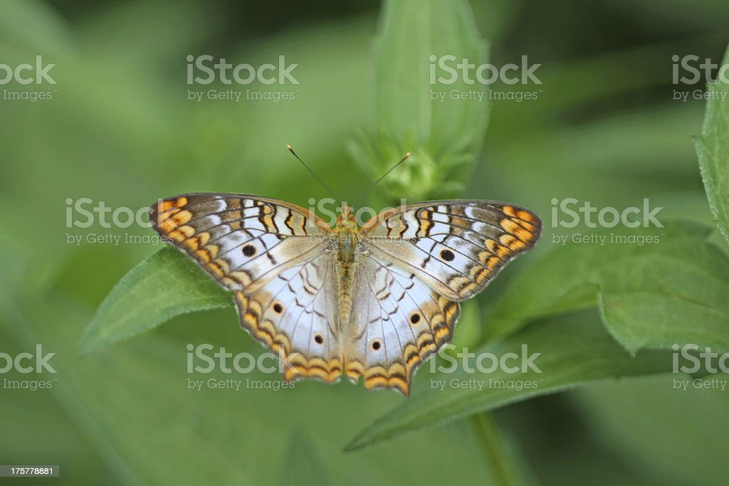 White Peacock Butterfly, Anartia jatrophae royalty-free stock photo