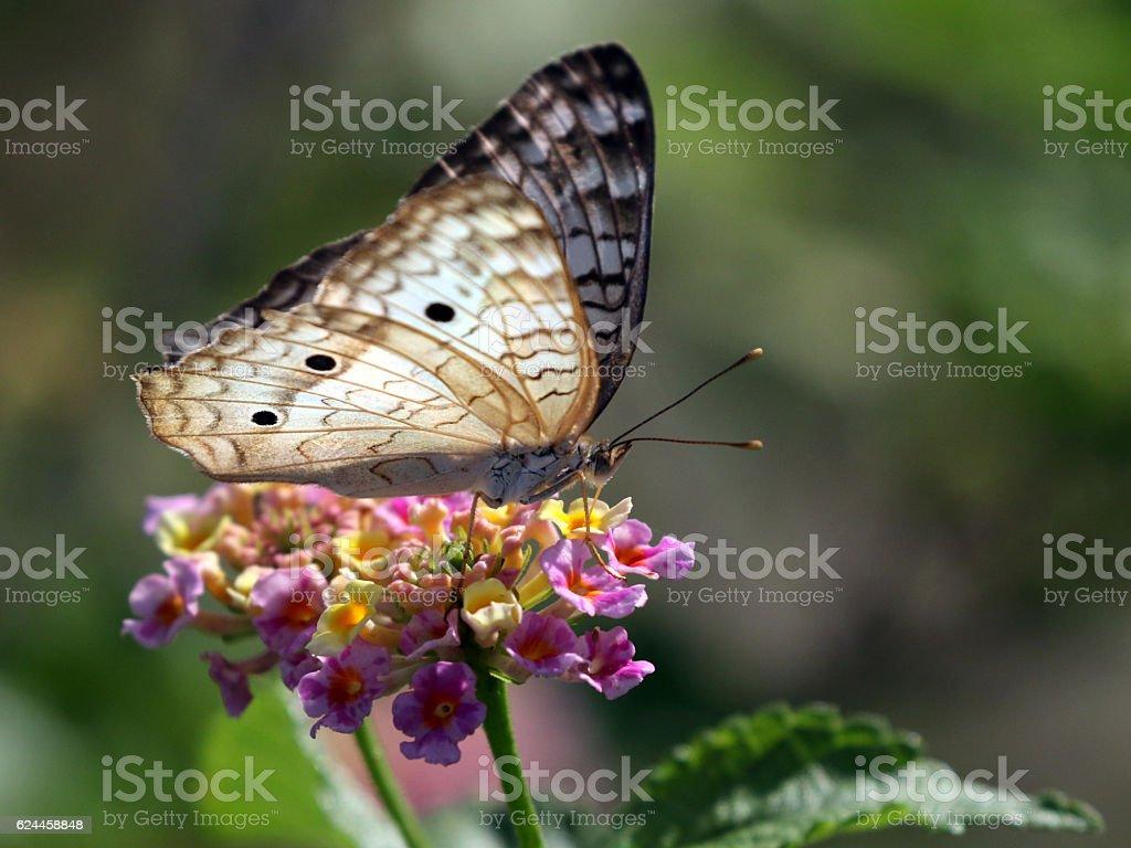 White Peacock Butterfly - Anartia jatrophae stock photo