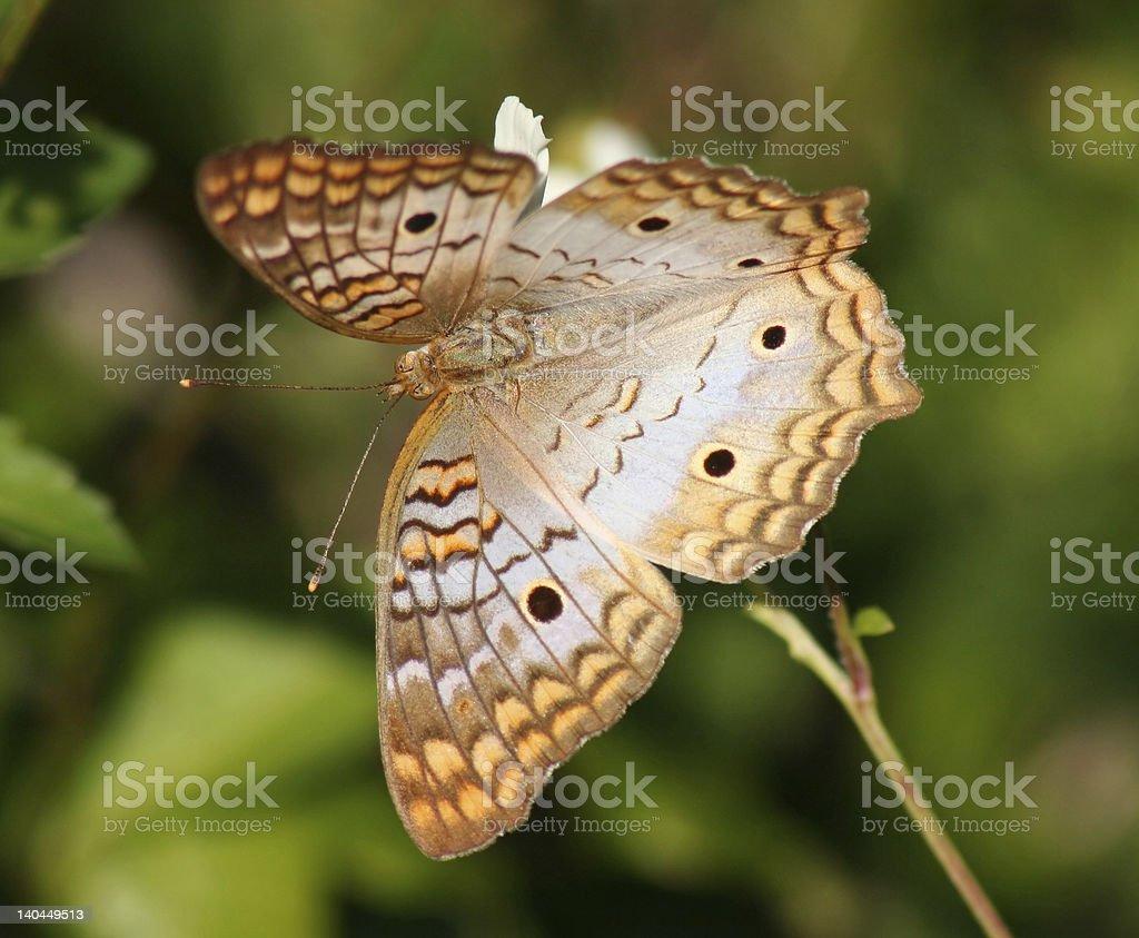 Mariposa pavo real blanca foto de stock libre de derechos