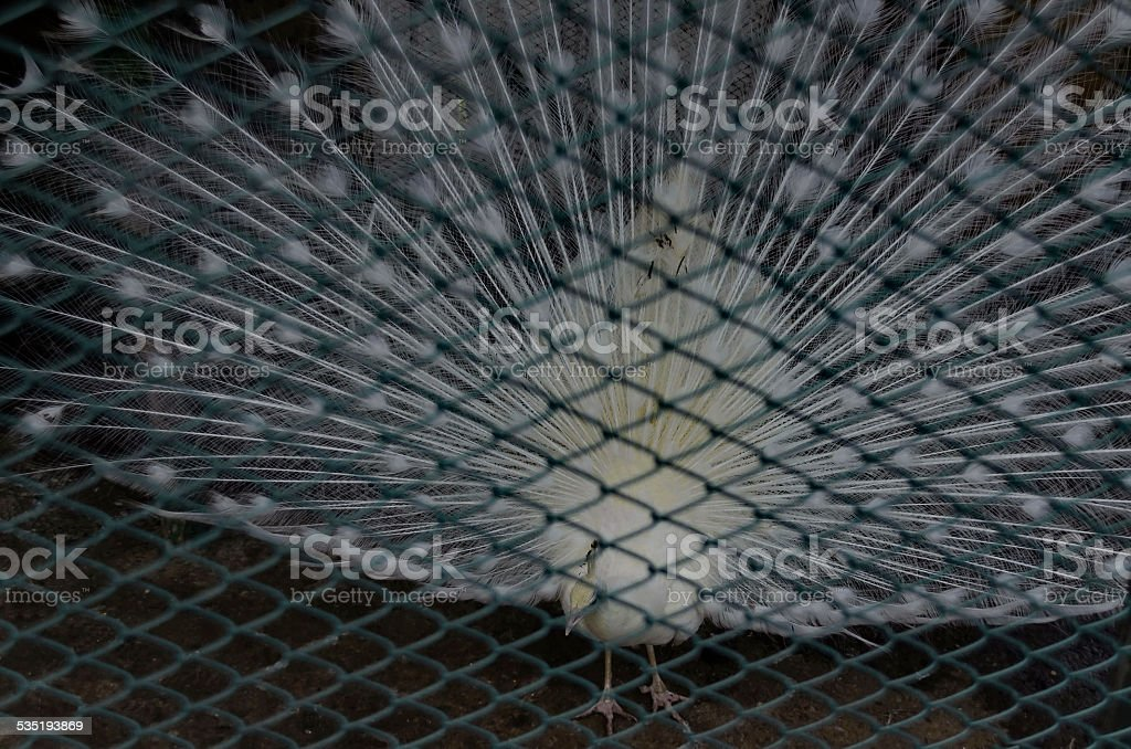 White peacock in full feather through grid stock photo