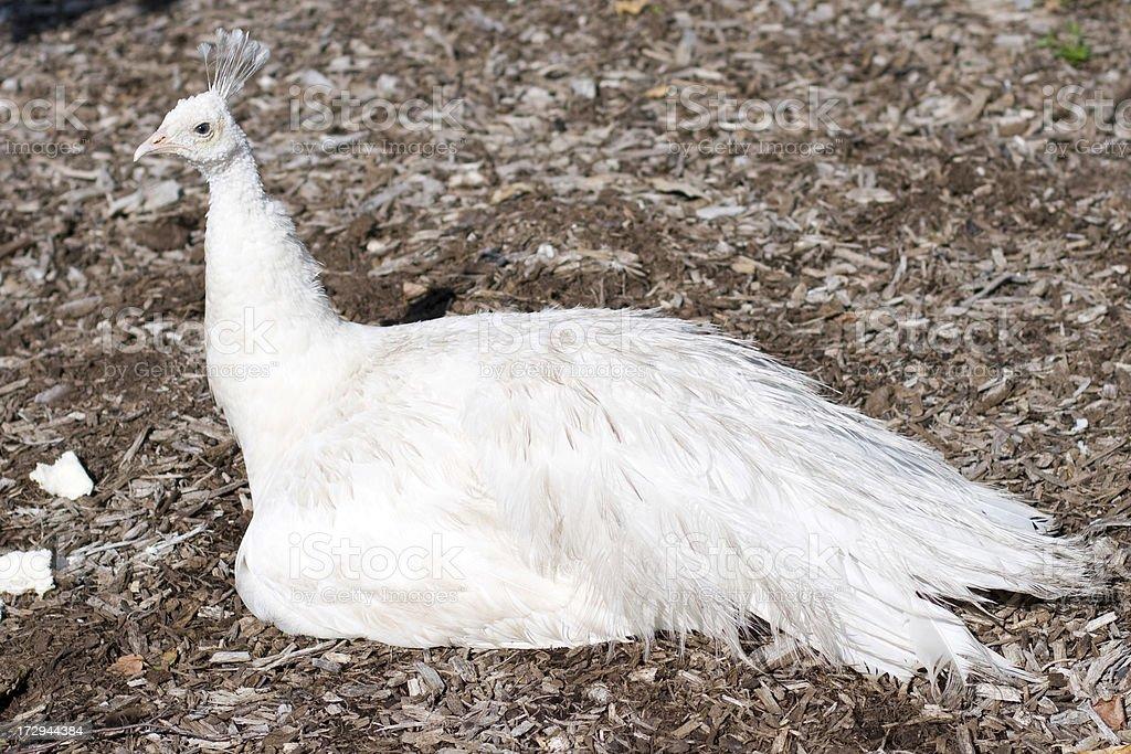 White Peacock royalty-free stock photo