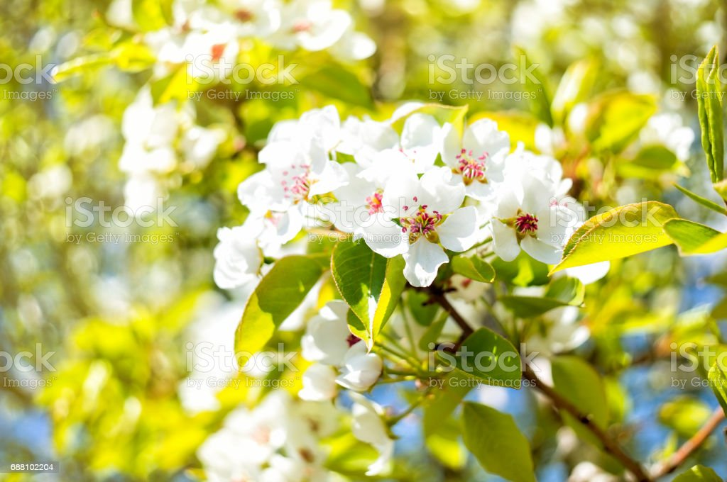 White pear blossom stock photo