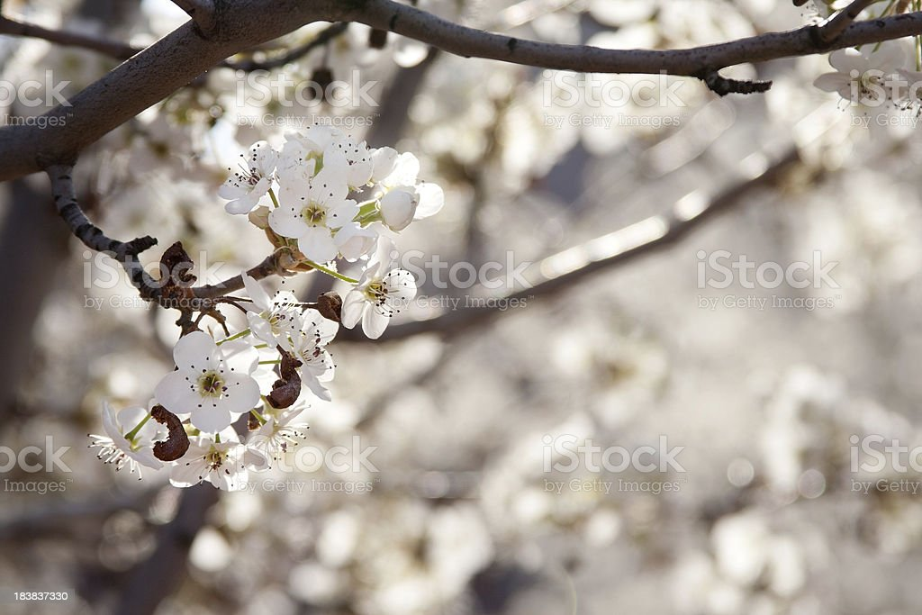 White Pear Flowers royalty-free stock photo