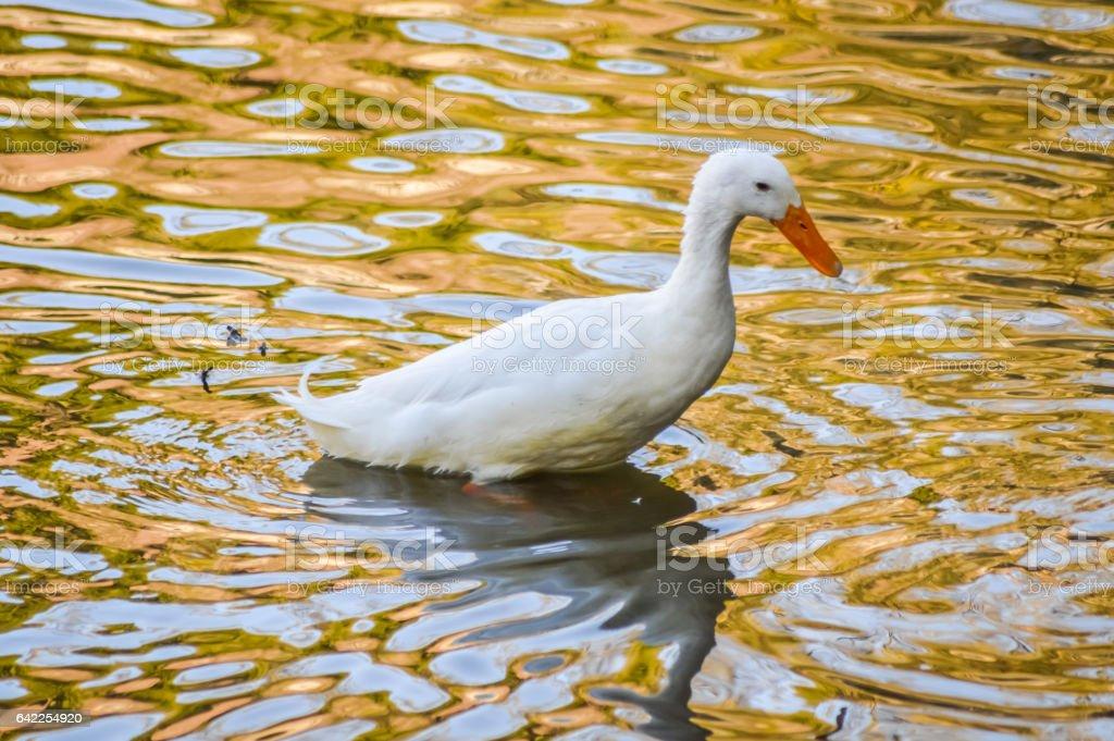White Pekin Duck in water stock photo