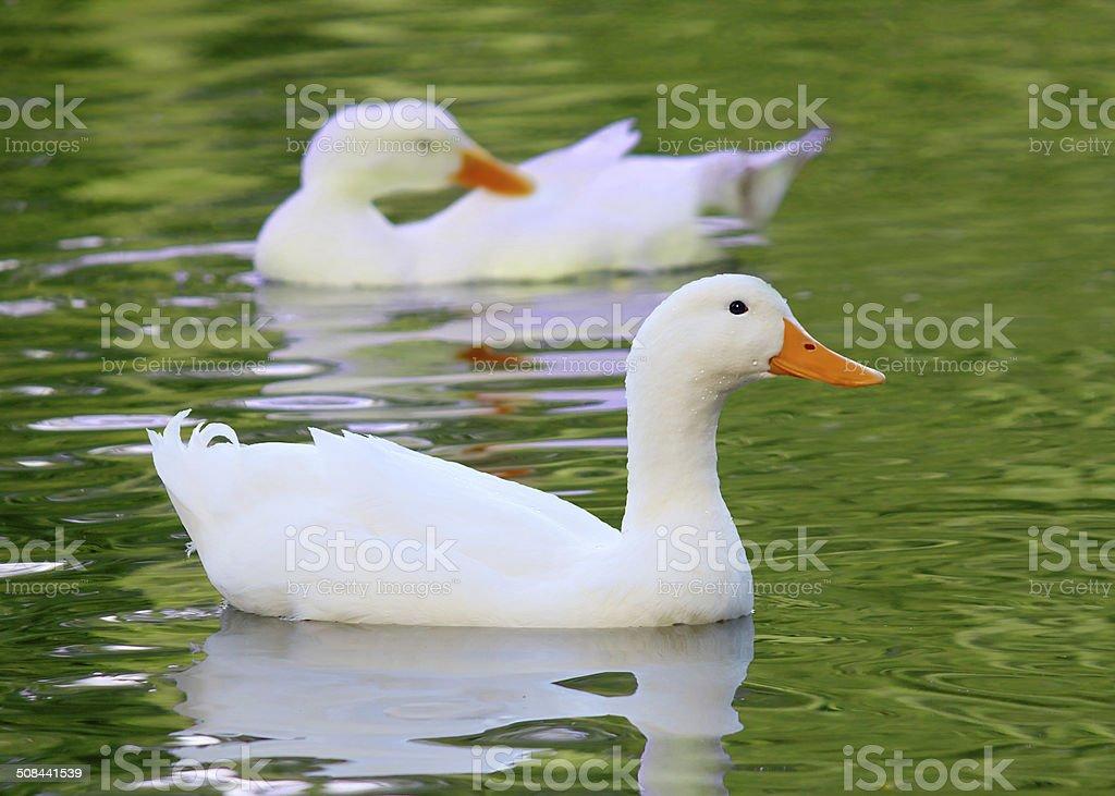 White Pekin Duck Long Island ducks Anas platyrhynchos domestica stock photo