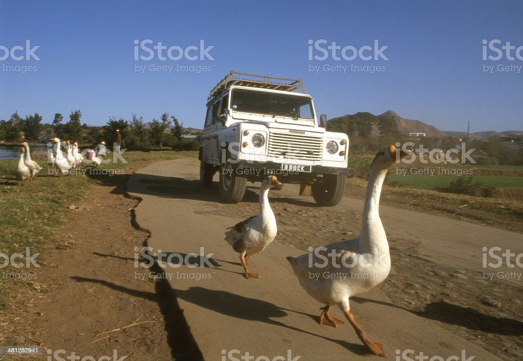 White Peking ducks stock photo