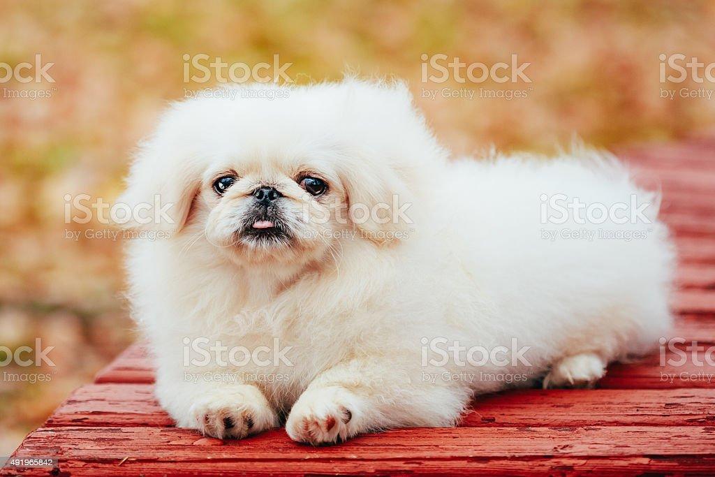 White Pekingese Pekinese Peke Whelp Puppy Dog Sitting On Wooden stock photo