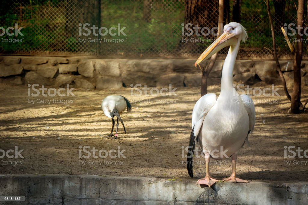 White Pelican also known as the Eastern White Pelican stock photo