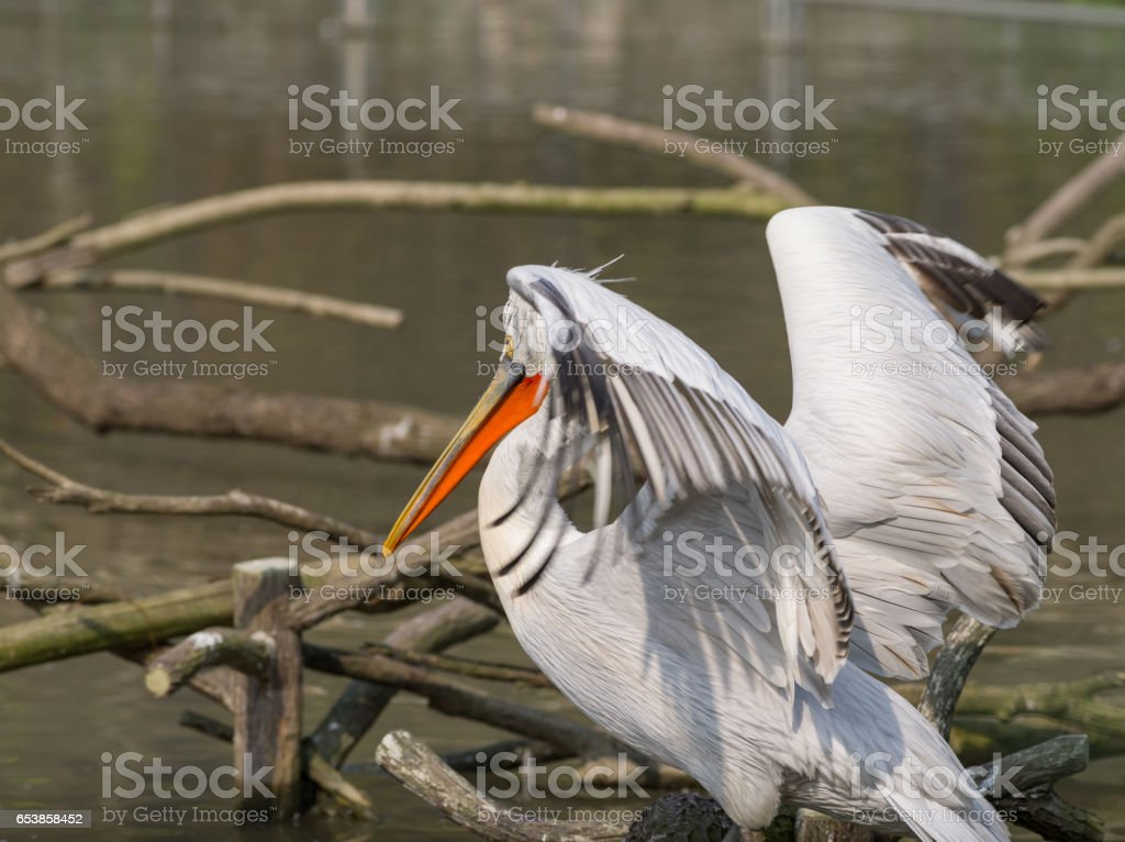 White Pelican (Pelecanus onocrotalus) also known as the Eastern White Pelican, Rosy Pelican or White Pelican is a bird in the pelican family stock photo